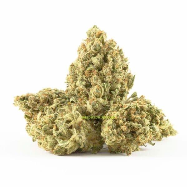 CBD SUPER SILVER HAZE weed seeds luxe